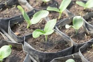 Uzgoj tikvica: Sjetva presadnica u aprilu za raniju berbu
