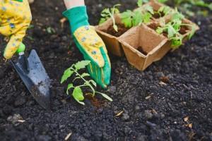 Kako uspešno gajiti papriku i paradajz na malim površinama