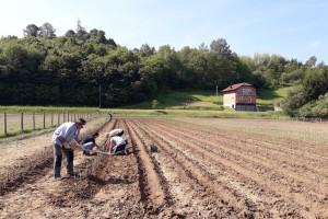 Ninići povadili 2.500 sadnica voća kako bi ih spasili od poplava i ponovo posadili