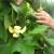 U porodičnom rasadniku Stanojčić cvjeta 60 vrsta magnolija