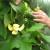 U porodičnom rasadniku Stanojčić cveta 60 vrsta magnolija