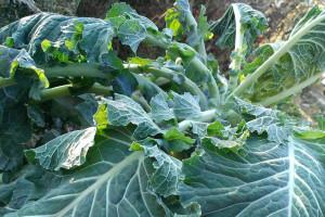 Uzgoj raštike, kupusnjače bogate vitaminima i mineralima