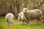 Razvoj mlečnog ovčarstva