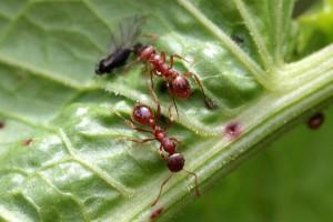 Suzbijte mrave u vrtu prirodnim preparatima