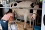 Rekordan otkup mleka u Crnoj Gori