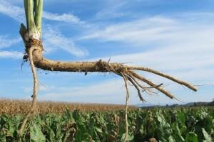 Sadnja hrena: Koje su prednosti uzgoja korjena u monokulturi?