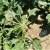 Od petka ponovo nestablino vreme: Patogenima pogođena šećerna repa