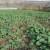 Vrijeme je za suzbijanje korova u uljanoj repici