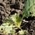Suvo i hladno vreme - lisna osa oštećuje uljanu repicu