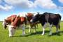 Izgradnja reprocentra za uzgoj tovnih pasmina goveda