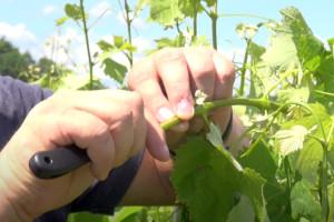 Cijepljenje vinove loze metodom Zeleno na zeleno