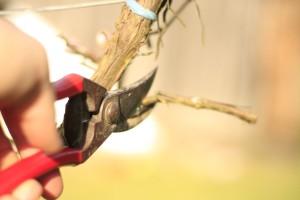 Kako izbjeći greške pri rezidbi vinove loze?