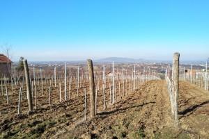 Mart - idealan mesec za prolećnu sadnju vinograda