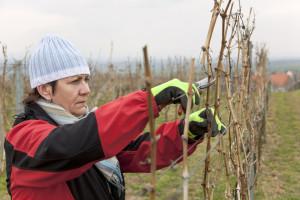 Zašto i koliko odgađati početak zimske rezidbe vinograda?