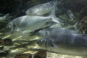 Ribe gube osjećaj mirisa pod utjecajem ugljičnog dioksida