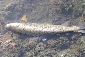 Užice: Pomor ribe u Đetinji