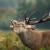 Oponašanje jelena: Rikanje lovaca pred 8.000 gledalaca