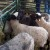 Romanovska ovca: Dva jagnjeta trošak, a druga dva - zarada!