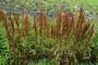 Štavelj - korov, lekovita biljka i insekticid