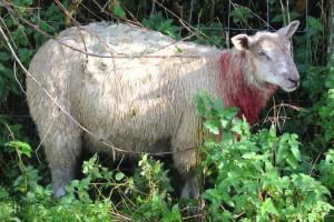 Puštaju pse da naganjaju i ozljeđuju stoku, farmeri broje velike štete