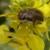 Rutava buba će se pojaviti ranije zbog visokih temperatura - napada sve što cvjeta