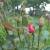 Kako prepoznati bolesti i štetočine ruža i čime ih zaštititi?