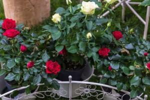 Uzgoj mini ruža u posudama - jednostavno i dekorativno