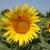 RWA suncokreti - za visoke prinose