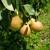U Gradišci počela probirna berba krušaka - rod voćaka bit će veći od očekivanog