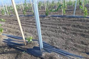 Pripremite pravilno lozne cijepove za sadnju