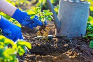 Upotreba huminske kiseline kod sadnje jagoda