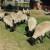 Kako hraniti bremenite ovce tijekom zime?