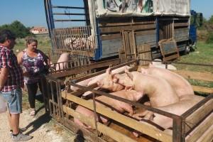 Sajam u Benkovcu: O stanju u stočarstvu iz prve ruke i tako više od 100 godina