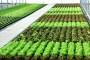 Uzgoj salate u plastenicima