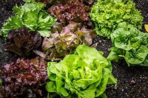 Koju salatu sejati u jesen?