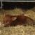 Stigao telić Bingo, prvi potomak bika pasmine Limousin i krave Salers