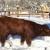 Goveda pasmine Salers uživaju u zimi i na snijegu