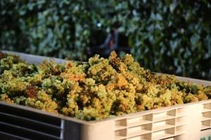 Rana berba grožđa prijeti kvalitetu šampanjca - kako se svjetski proizvođači bore sa time?