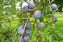 Šarka šljive - najopasnija bolest roda Prunus