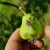 U toku je piljenje larvi druge generacije jabučnog smotavca