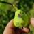 U toku je piljenje larvi druge generacije jabukinog smotavca