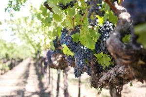 Vinogradari i vinari, otvorena su dva nova savjetovanja - uključite se