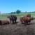 Hrvatska ima perspektivu za uzgoj u sustavu krava-tele, no moramo održavati pašnjake