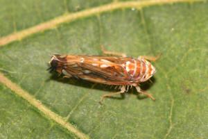 Pojavile se prve ličinke američkog cvrčka