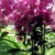 Šeboj - antičko cvijeć turskog imena sije se u junu i julu