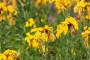 Šeboj - mirisna cvjetnica skromnih zahtjeva