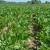 Za proizvođače šećerne repe godišnje osigurano 30 milijuna kuna potpora