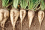 Viro kooperacija ugovarat će proizvodnju šećerne repe