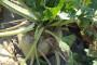 Već ugovorena šećerna repa u Vojvodini vjerojatno će biti izuzeta od carina