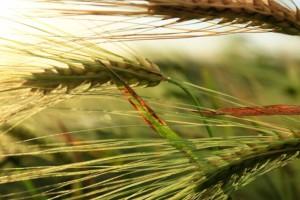 Bolesti pšenice: Palež klasa ima tri uzročnika